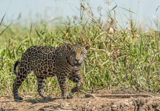 Stalking caiman