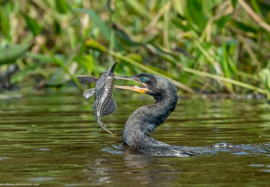 Cormorant with a sucker fish