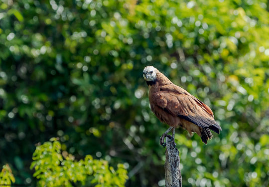 Black - collared hawk - Busarellus nigricollis