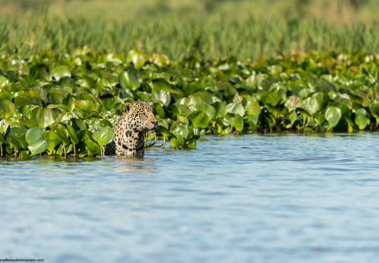 Jaguar set against the water hyacinth