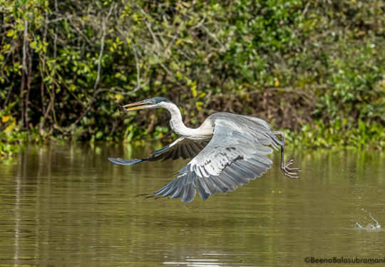 Cocoi Heron, Maguari or Garca moura - with a catch