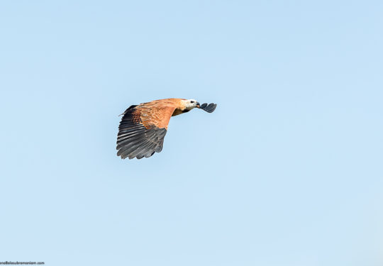 In flight shot of the Black - collared hawk - Busarellus nigricollis