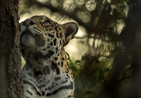 Dreamy sub adult jaguar