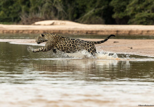 Jaguar on a Caimen hunt