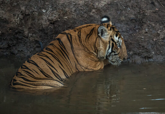 Russel line Male at the water hole at Kabini
